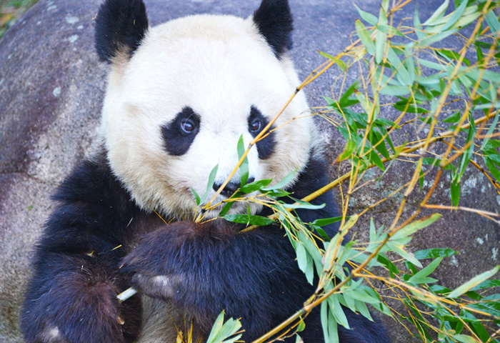 王子動物園 入園無料 入場料 無料 2018 開園記念日 いつ 3月21日 パンダ