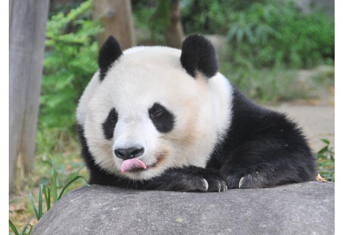 神戸 パンダ 王子動物園