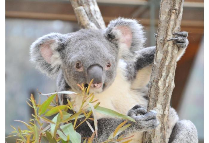 王子動物園 入園無料 入場料 無料 2018 開園記念日 いつ 3月21日 コアラ