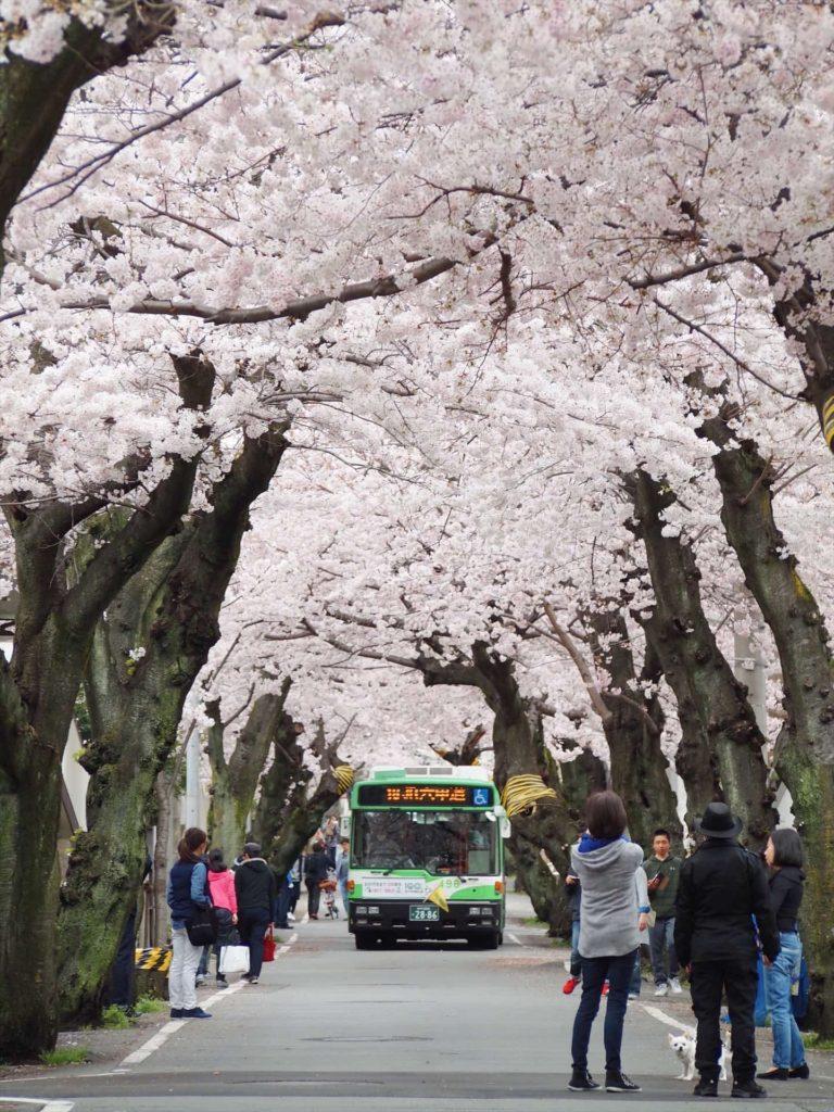 2018 神戸 桜 花見 穴場 おすすめ スポット 桜トンネル 桜のトンネル
