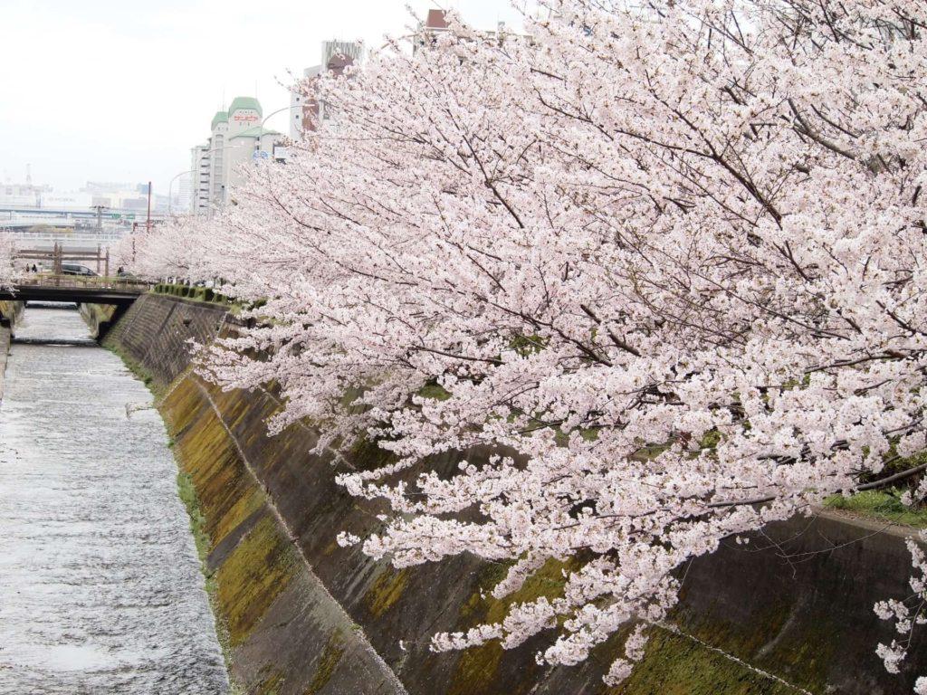 2018 神戸 桜 花見 穴場 おすすめ スポット 生田川