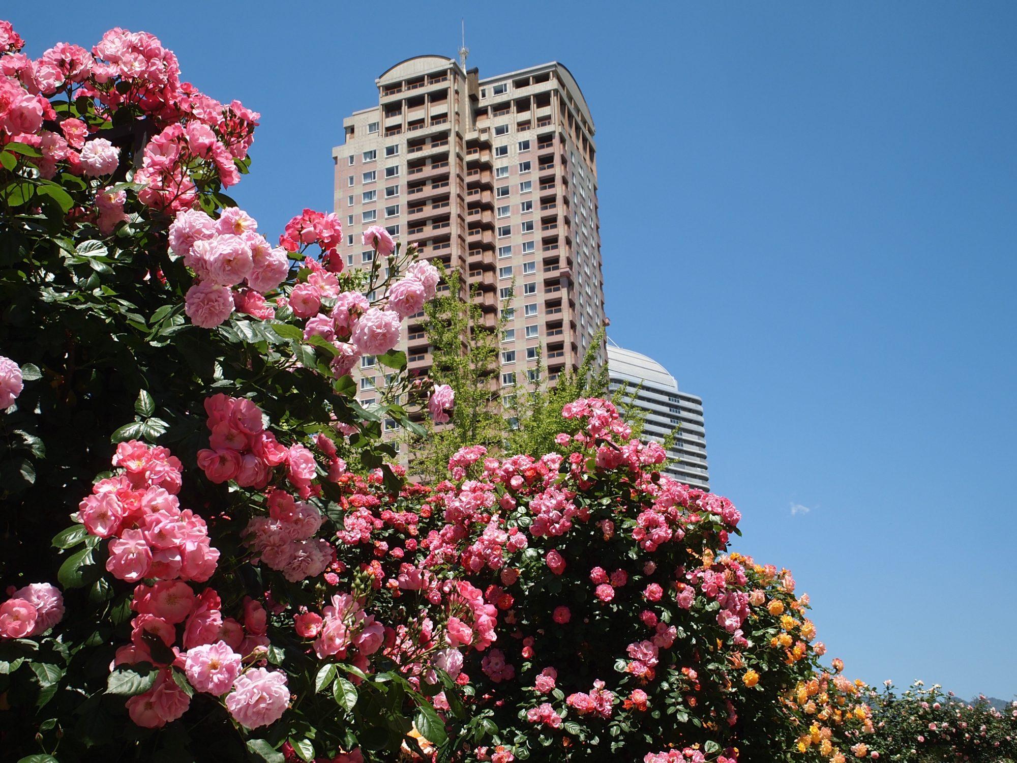 色鮮やかな満開のバラは見応えアリ!「六甲アイランドバラ祭」は都会の中の癒し