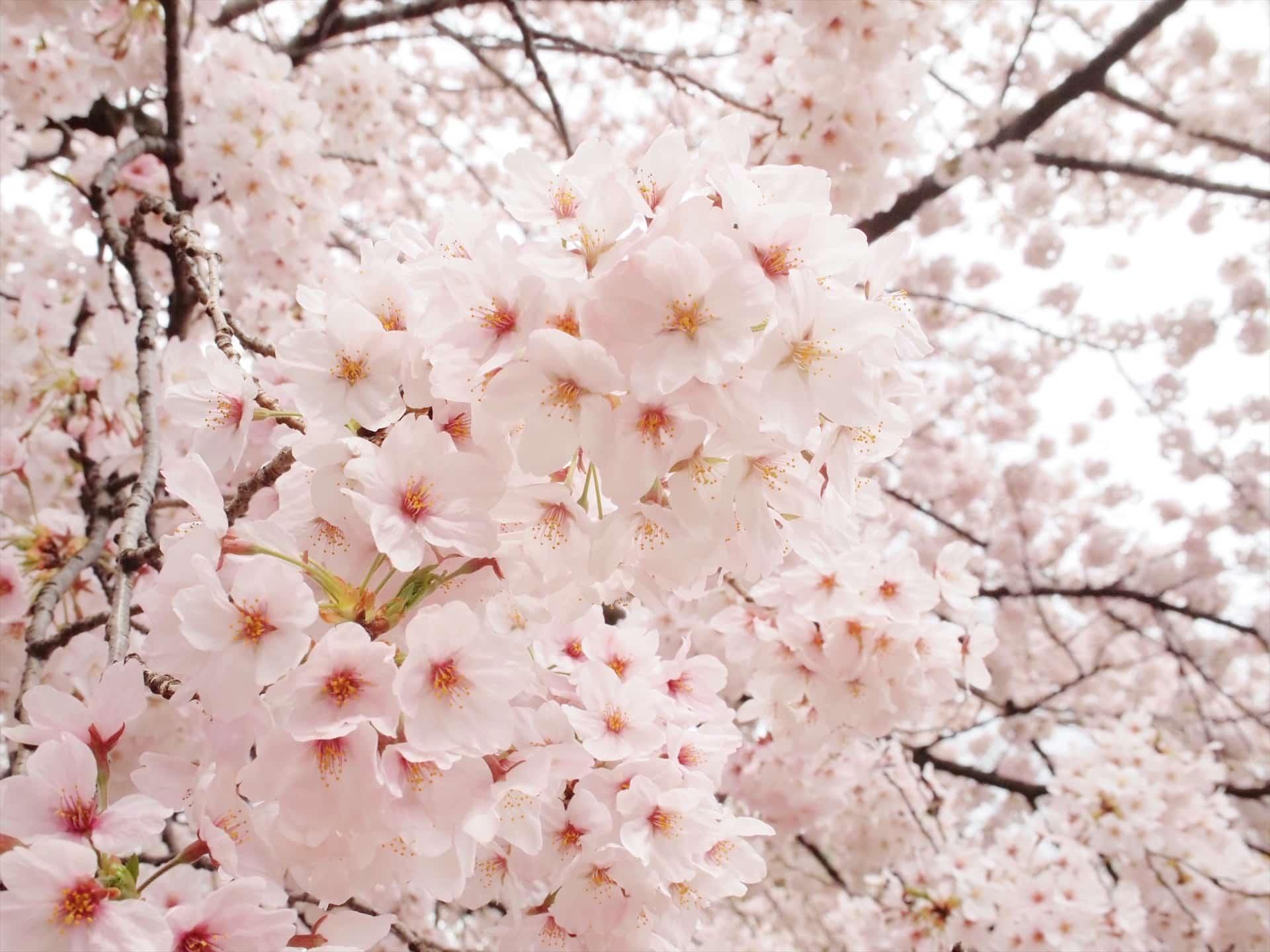【2018年】神戸で桜を見よう!おすすめ&穴場のお花見スポット9選。開花予想日・満開予想日も