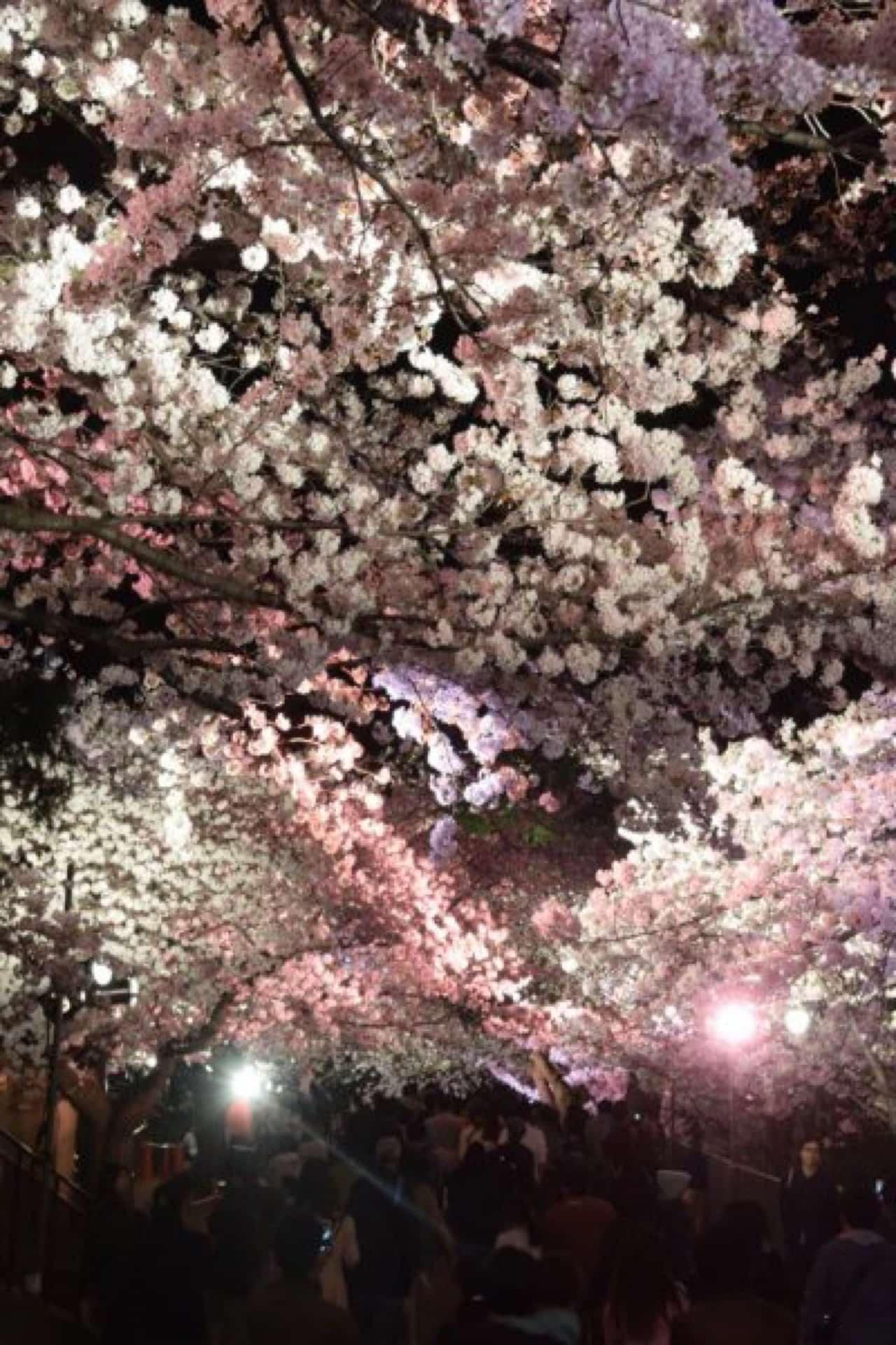 【2018年】無料で楽しめる!王子動物園の夜桜通り抜け。ライトアップされた美しい桜を見に行こう