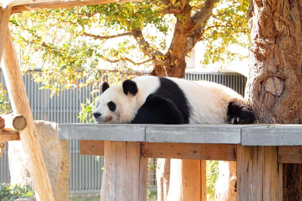 王子動物園 入園無料 入場料 無料 2020 開園記念日 いつ 3月21日 パンダ 無料開放 無料の日