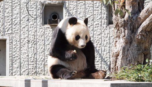 王子動物園のパンダ「タンタン」が中国へ返還|2020年7月までの契約終了が決定