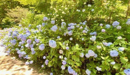 神戸市立森林植物園「あじさい散策」に行ってきたよ◎種類・見頃・混雑状況・ベビーカーOK